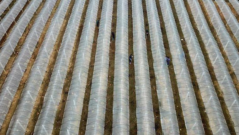 貴州丹寨:葡萄園裏冬管忙