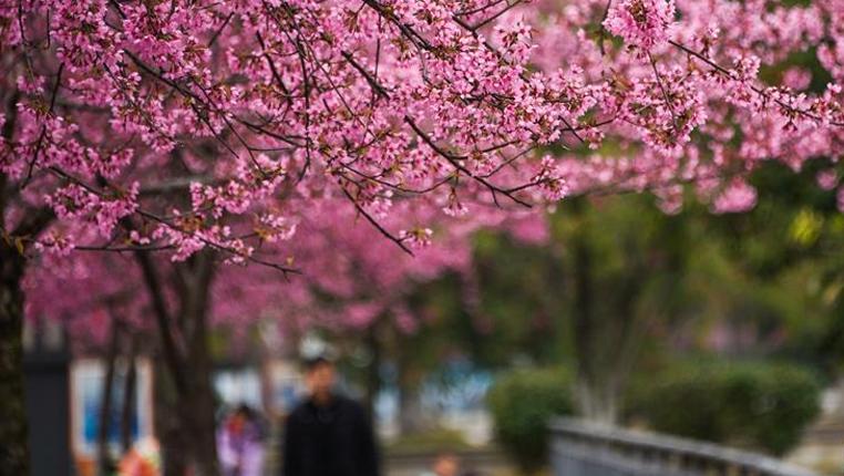 貴州興義:冬櫻盛開 姹紫嫣紅