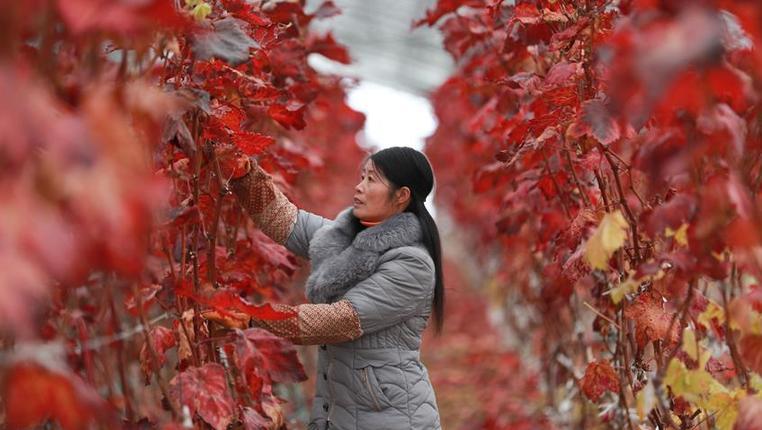 貴州赫章:葡萄冬管忙