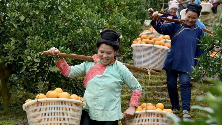 貴州榕江:臍橙收獲忙