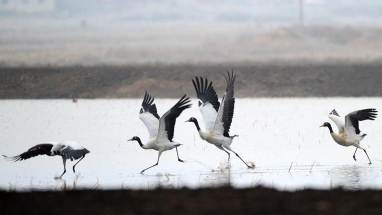 貴州草海成候鳥越冬樂園