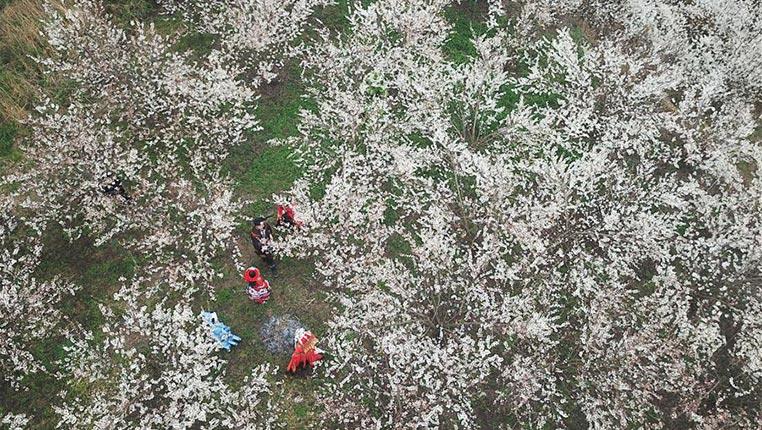 貴州大方:櫻桃花開引客來