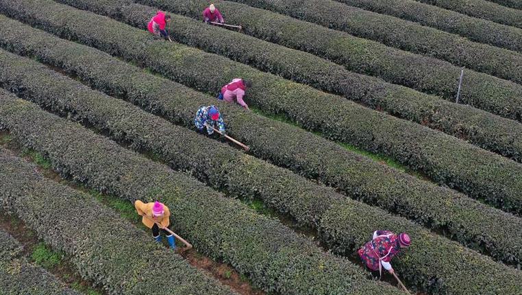 貴州石阡:茶園春管忙