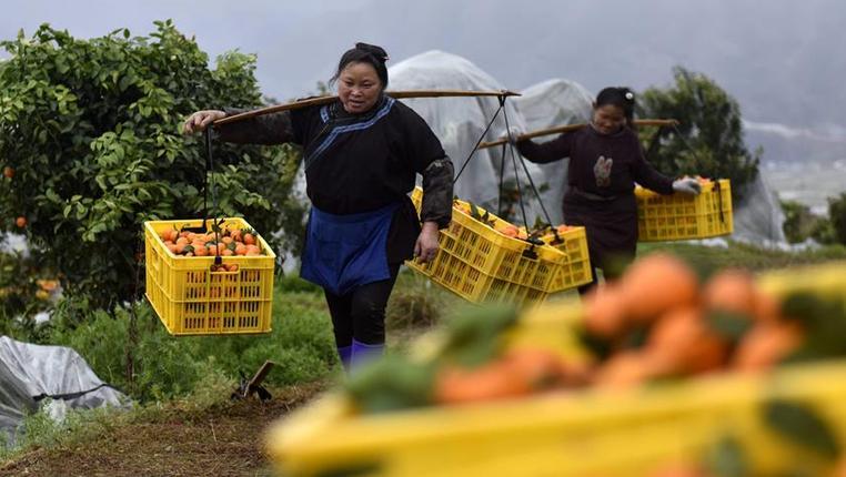 貴州榕江:砂糖橘豐收上市
