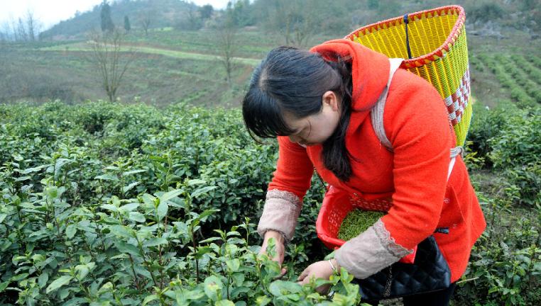 航拍貴州金沙萬畝茶園:特色産業助農增收
