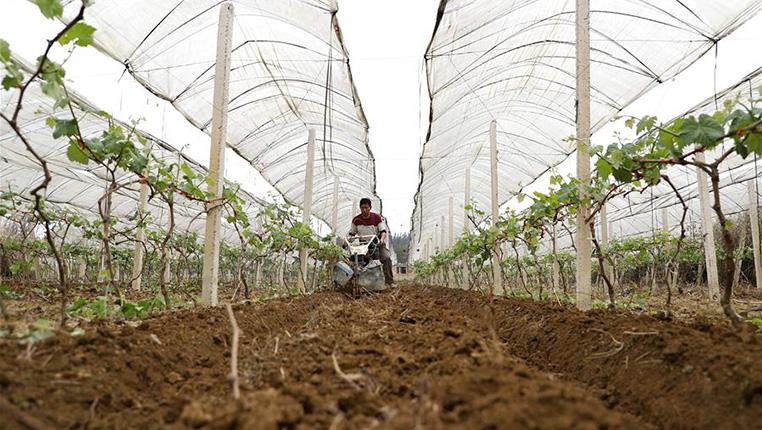 貴州丹寨:葡萄園內春管忙
