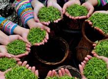 貴州:從茶業大省走向茶業強省