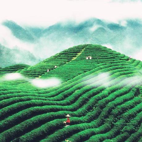 嚴苛措施 造就貴州茶幹凈品質