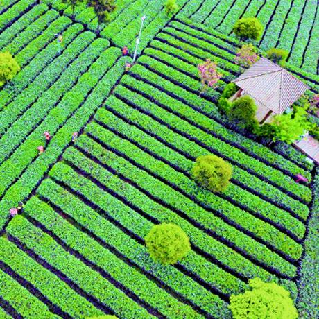 十年堅守 貴州茶産業迎來春天