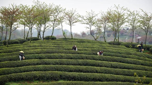 """貴州余慶:搶採""""明前茶"""""""