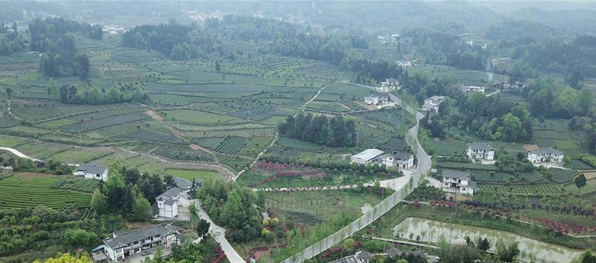 貴州湄潭:綠浪淘心 茶富萬民