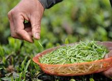 貴州正安:千畝茶山緣何重現生機