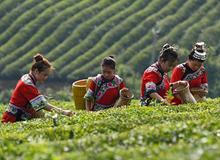 """貴州銅仁:""""農旅一體""""茶産業助增收"""