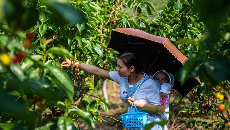 貴州六枝:櫻桃成熟引客來