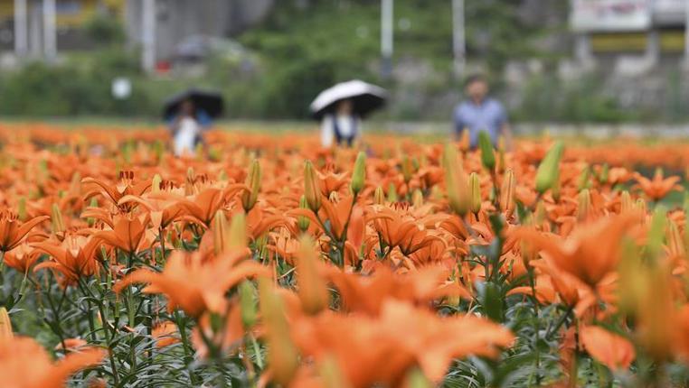 貴州臺江:百合花開富農家