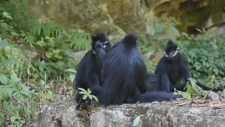 """貴州麻陽河國家級自然保護區新添7只""""猴寶寶"""""""