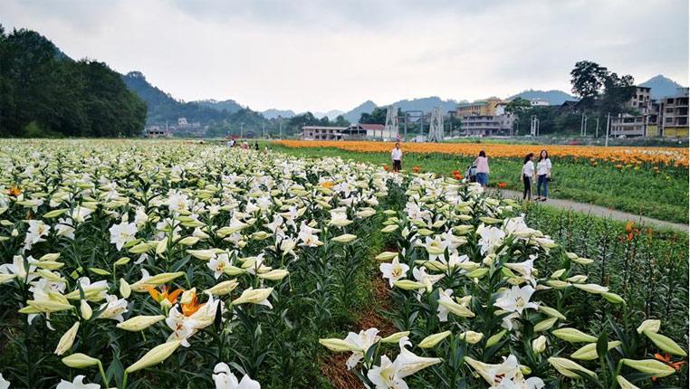 """貴州臺江:""""百合經濟""""帶火鄉村旅遊"""