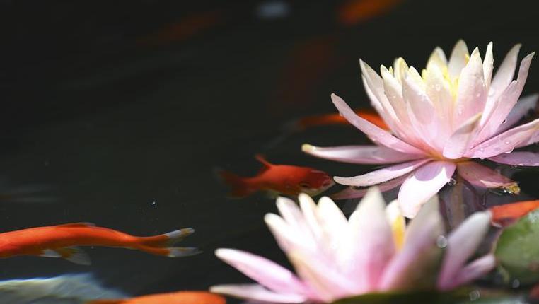 金魚戲睡蓮