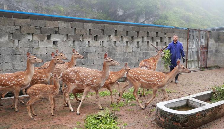 貴州納雍:梅花鹿養殖托起致富夢