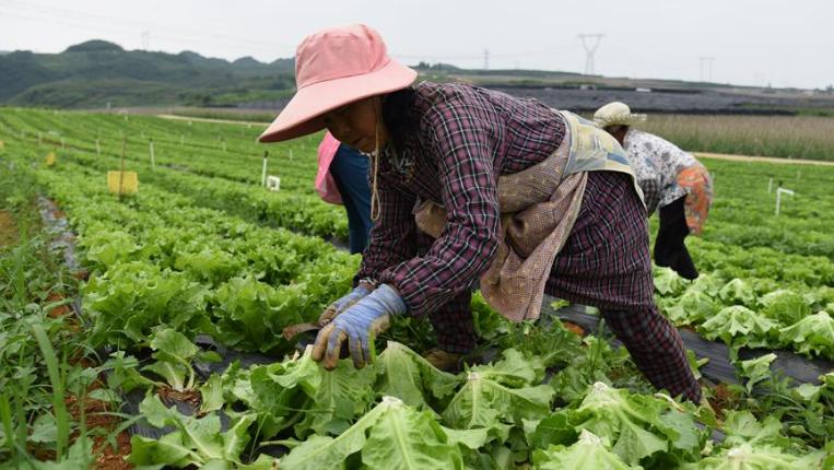 貴州平壩:生態蔬菜喜豐收