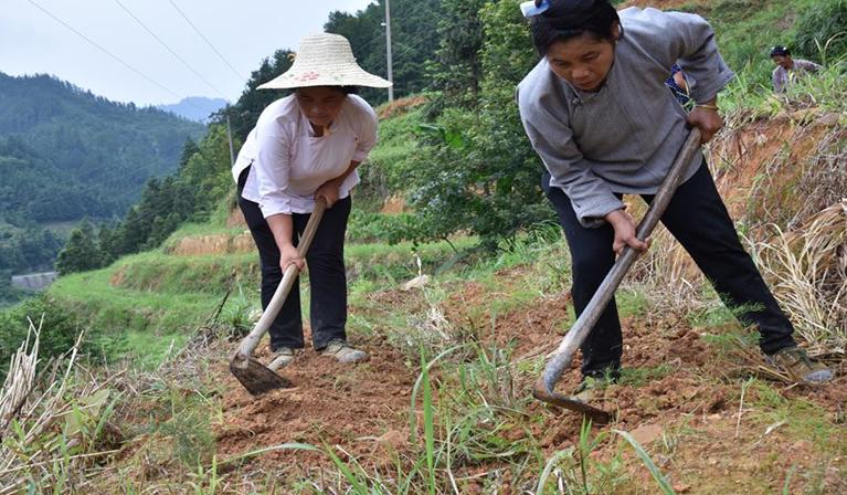貴州榕江:中藥材産業助力脫貧攻堅