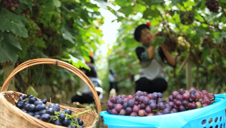 七夕來了 葡萄熟了