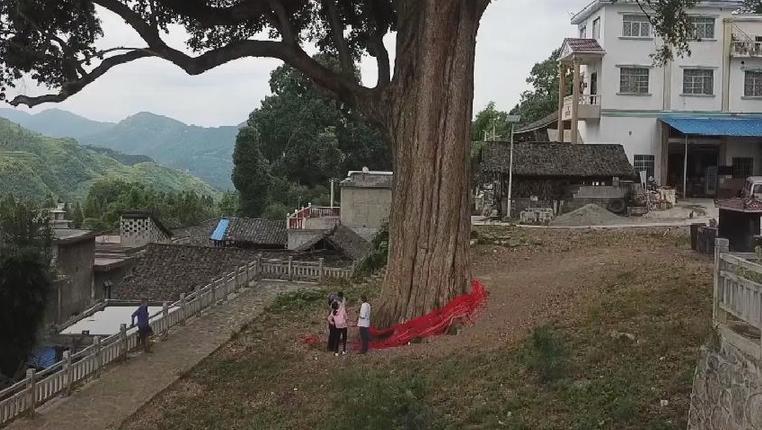 """在貴州這個小村莊,有一棵樹被譽為""""楠木王"""""""