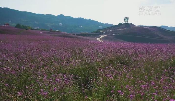 新華微視∣美了美了 看黔北1500畝花海