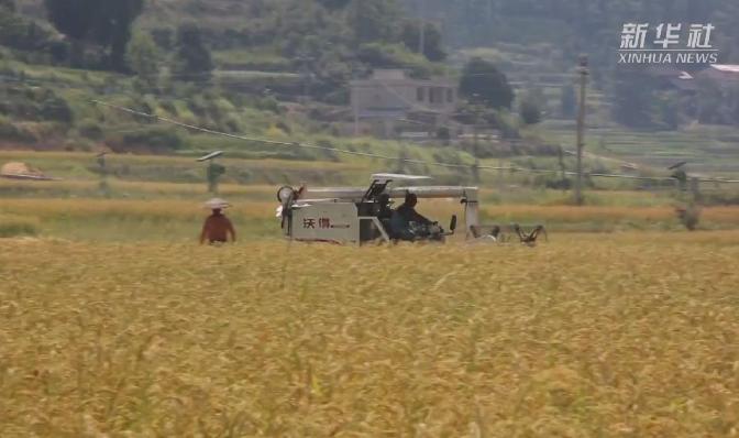 貴州岑鞏:雜交水稻制種基地迎秋收