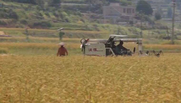 新華微視∣貴州岑鞏:雜交水稻制種基地迎秋收