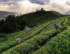 茶香深處是茶鄉