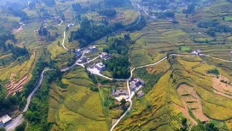 貴州仁懷30萬畝有機高粱進入採收期