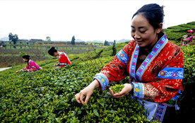 茶葉專家齊聚安順 探討茶産業發展