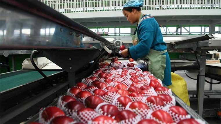 貴州威寧:産業扶貧結碩果