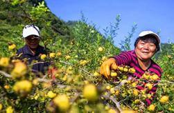 貴州刺梨:小果子成就大産業