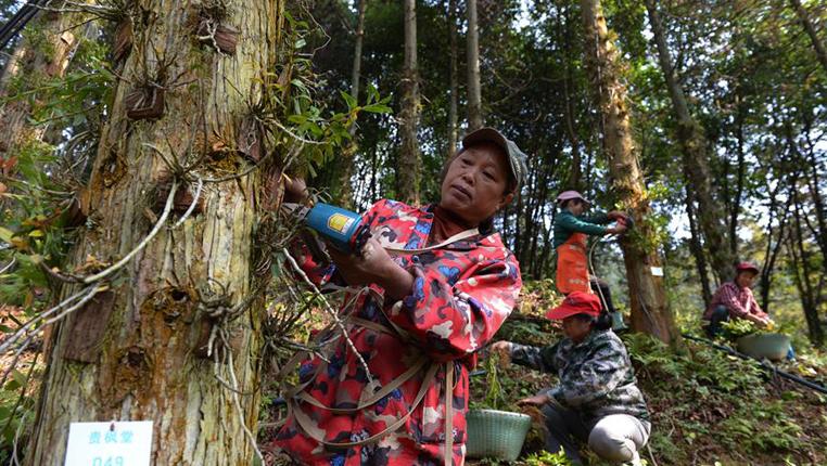 貴州錦屏:樹上種石斛 種出新希望