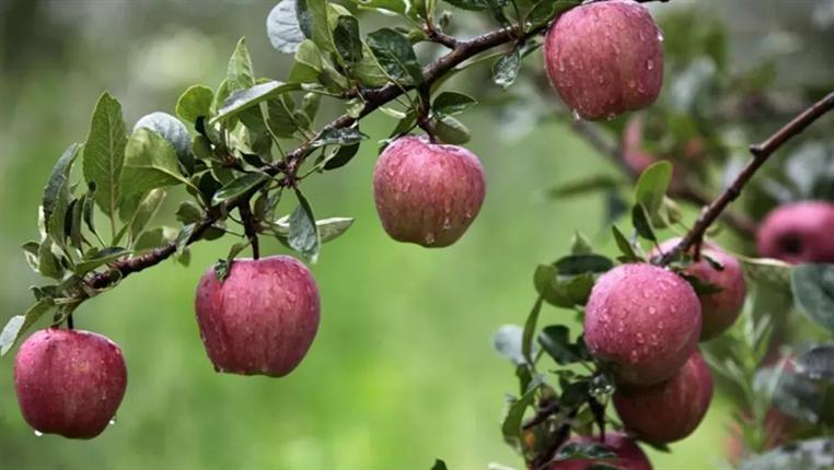 貴州這裏的蘋果品牌價值超3億元,你吃過嗎?
