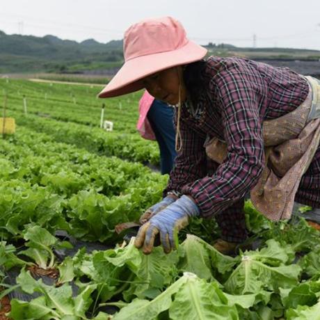 """貴州在高海拔蔬菜基地推廣""""智能農場"""""""