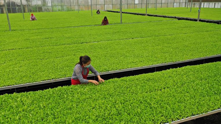 貴州玉屏:緊急培育生菜苗應對疫情下市場需求