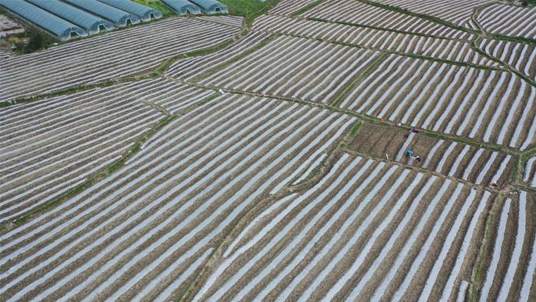 貴州榕江:打造壩區經濟助農增産增收