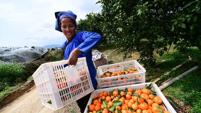 貴州榕江:砂糖橘留樹保鮮錯峰上市