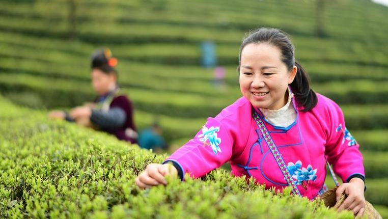 貴州丹寨:仲春採茶正當時