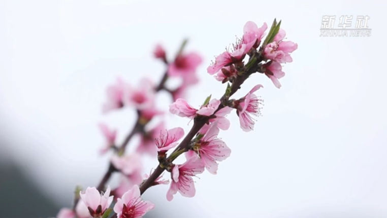 貴州長順:桃花遍野爛漫紅