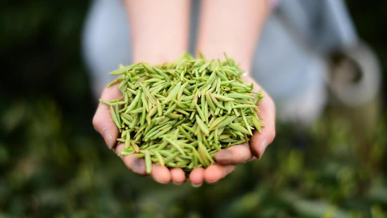 貴州開陽:南龍茶園迎來豐産期