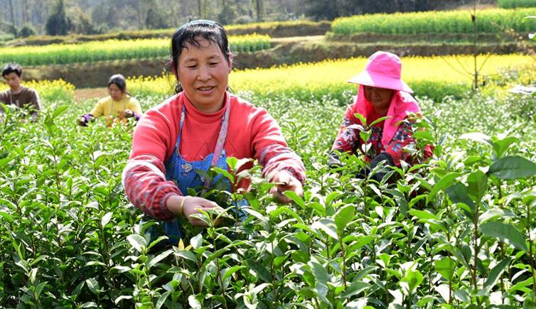 貴州鳳岡:産茶大縣採茶制茶忙
