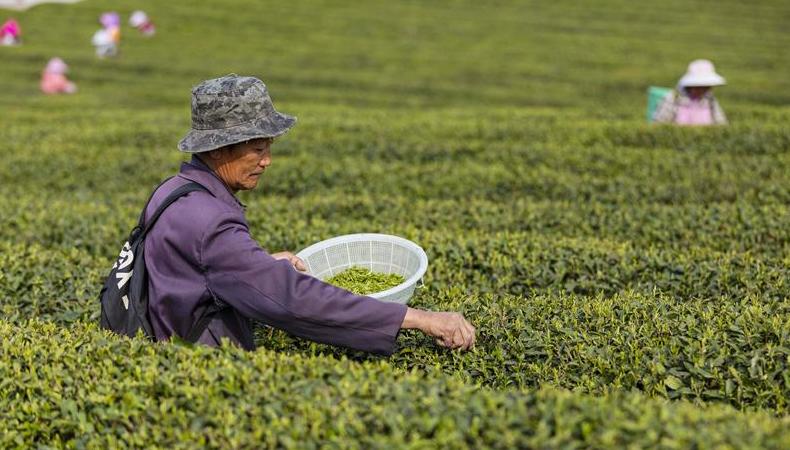 茶園添新綠 春茶採摘忙