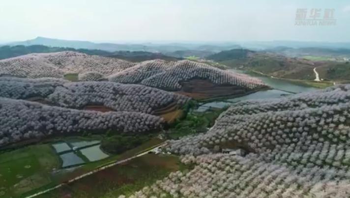 貴州長順:漫山遍野櫻花開 夢幻美景令人醉