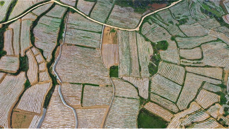 航拍:貴州紫雲發展壩區特色産業 搶抓農時種植紅芯紅薯