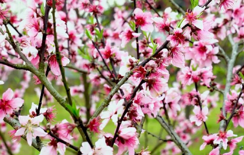 田園春景:桃花盛開迎客來