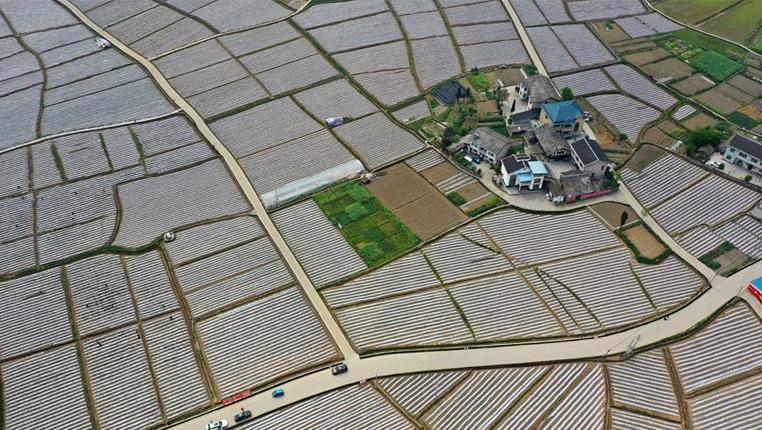 貴州綏陽:發展壩區産業經濟助農增收